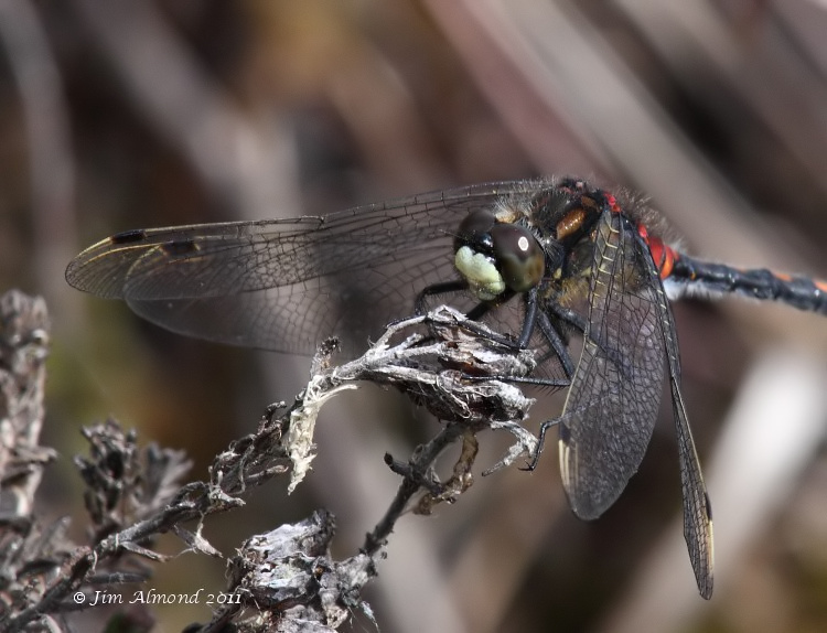 sbgallery White faced Darter male vcu face Whixall Moss 4 6 11 IMG_1307