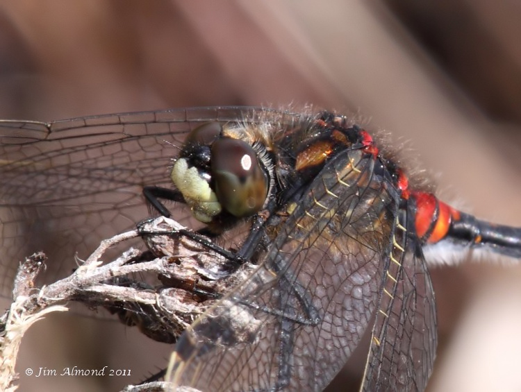 White faced Darter male vcu face Whixall Moss 4 6 11 Raw edit IMG_1313
