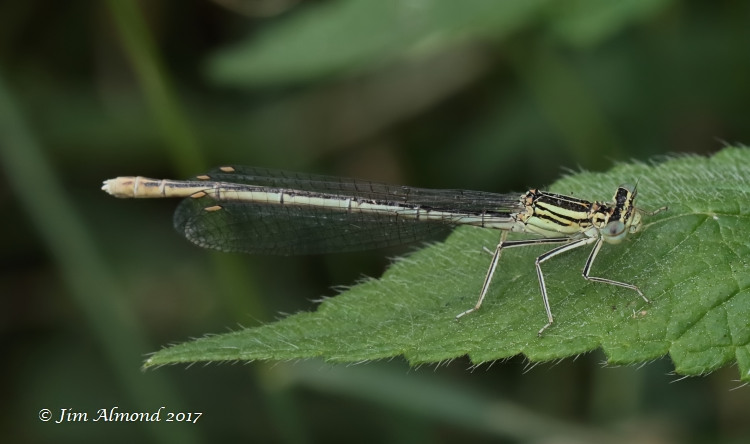 White-legged Damselfly female