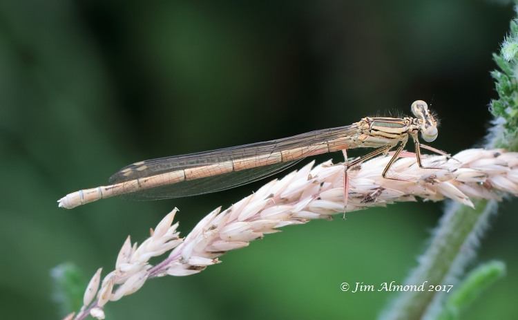 White-legged Damselfly female lactea