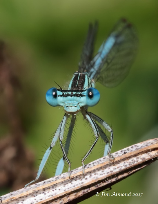White-legged Damselfly male